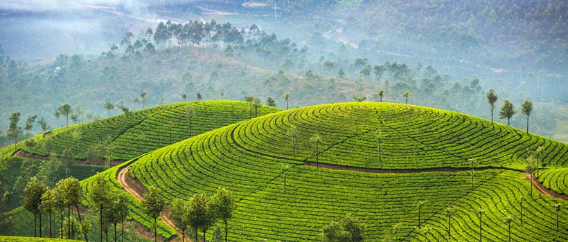 Tea plantations in Munnar, Kerala