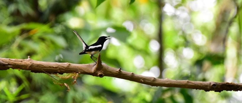 Black Billed Magpie bird in Thattekad Bird Sanctuary