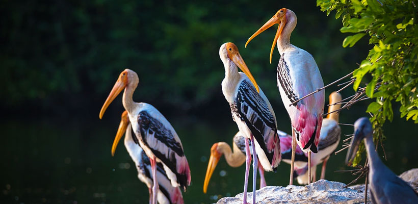Migrant birds in Kadalundi bird sanctuary, Kerala