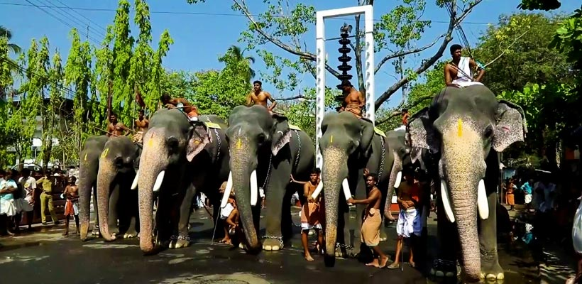 A glimpse of elephants getting ready for the Anayottam (elephant race) in Guruvayur Sri Krishna Temple.