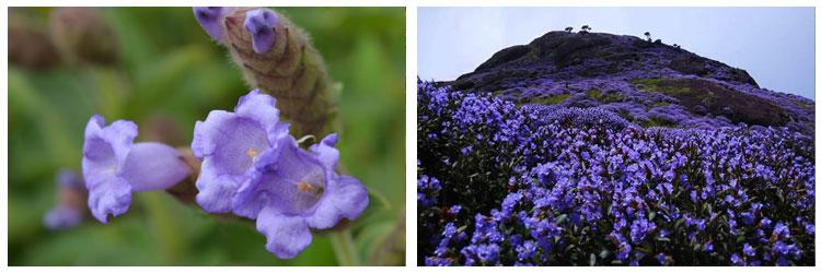 neelakurinji-flower-munnar