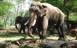 elephant-camp-guruvayur