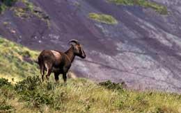 eravikulam-national-park-munnar
