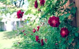 rose-garden-munnar