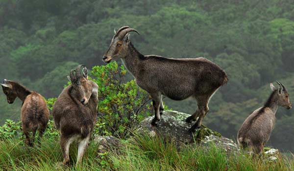 Wildlife sightseeing in Munnar